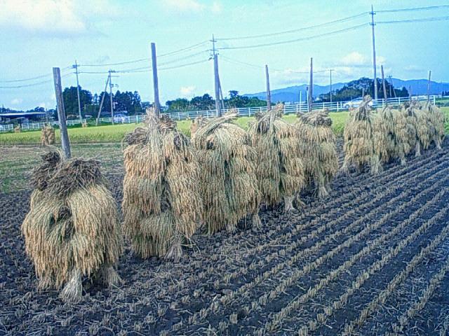 稲刈り風景:棒掛け